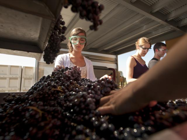 Students engaged in wine pressing